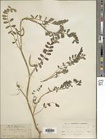 view Astragalus hamosus L. digital asset number 1