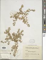 view Ononis variegata L. digital asset number 1