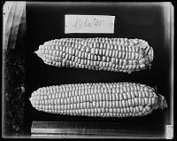 view Pyle Corn digital asset: Pyle Corn