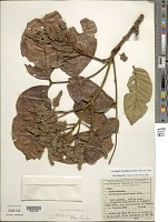 view Tachigali densiflora (Benth.) L.F. Gomes da Silva & H.C. Lima digital asset number 1