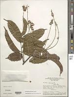 view Tachigali paniculata Aubl. digital asset number 1
