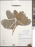 view Cupania diphylla Vahl digital asset number 1