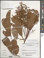 view Cupania latifolia Kunth digital asset number 1