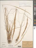 view Muhlenbergia elongata Scribn. ex Beal digital asset number 1