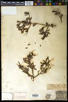 view Maytenus buxifolius var. parvifolius Griseb. digital asset number 1