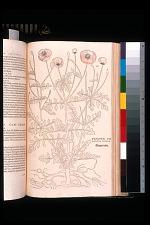 Papaver erraticum primum