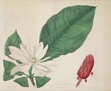 Magnolia umbrella (sic) tripetala L.