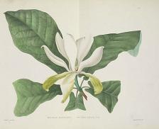 Magnolia auriculata (sic) fraseri Walt.