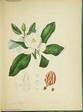 Magnolia glauca (sic) virginiana L.