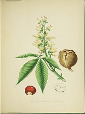 Aesculus glabra.