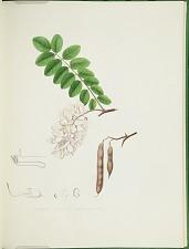 Robinia viscosa