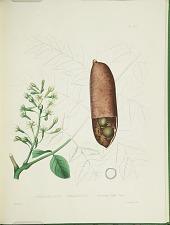Gymnocladus canadensis