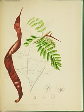 Gleditschia triacanthos