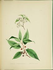 Cerasus pennsylvanica