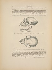 SIMMIDAE. Fig. 3. - Lateral aspect of the cranium of the variety of M. rhesus, Desm., found in Yunnan. 3/4 nat. size. Fig. 4. - Upper aspect of the cranium of the variety of M. rhesus, Desm., found in Yunnan. 3/4 nat. size.