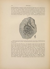 CETACEA. Fig. 14. A sketch (natural size) of the surface of a portion of the second cavity of the stomach of Platanista...