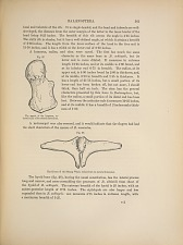 BALAENOPTERA. Fig. 27. The aspect of the humerus... Fig. 28. Hyoid bone of the Sittang Whale...