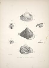Anatomie du galatea radiata.