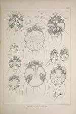 Sarcoptes scabiei crustosae.