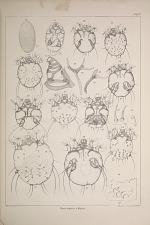 Sarcoptes vulpis.