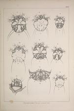 Sarcoptes minor. (Sarcopt cuniculi Gerl.)