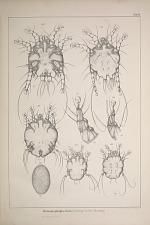 Dermatophagus bovis. (Sarcopt. bovis Hering.)