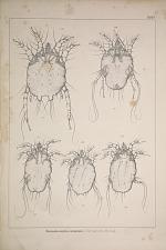 Dematokoptes communis (Sarcopt. ovis Hering.)