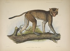 Macacus Rhesus, Desm.