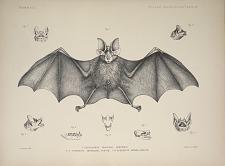 Rhinolophus Pearsonii, Horsfield.