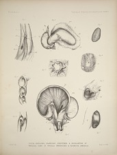 Foetal envelopes, glandular structures & peculiarities of umbilical cord in orcella brevirostris & Platanista gangetica.