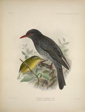 Hypsipetes yunnanensis, Andr. Culcipeta tephrocephala, Andr.
