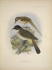 Suya superciliaris, Andr. Pycnonotus xanthorrhous, Andr.