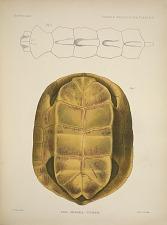 Emys (Morenia) Ocellata