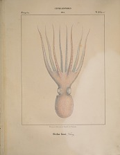 Octopodes. Eledon Genei.