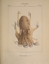 Octopodes. Eledon moschatus.