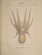 Octopodes. Octopus tetracirrhus.