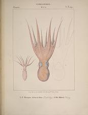 Octopodes. 1 e 2. Octopus tetracirrhus. 3. Oct. Alderii