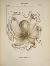 Octopodes. Octopus vulgaris.