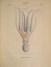 Octopodes. Octopus Salutii.