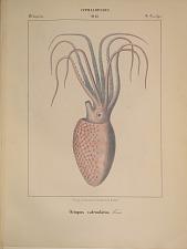 Octopodes. Octopus catenulatus.