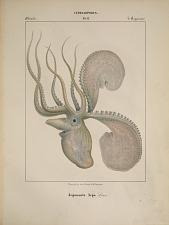 Octopodes. Argonauta Argo