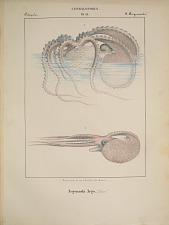Octopodes. Argonauta Argo.