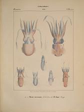 Decapodes. a...c. Rossia macrosoma, d...h R. dispar.
