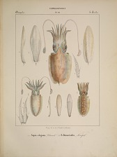 Decapodes. a...e. Sepia elegans. f...k S. Bisserialis.