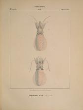 Decapodes. Sepioteuthis sicula.
