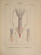 Decapodes. a...c, Onychoteuthis Lichtensteinii, d...h O. Krohnii