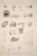 1-3. Bohrlöcher, von Gastroproden verursacht ... 4. Fusus-Laich. 5. Einzelnes Ei. 6. Teil eines Prosobranchienlaichs. 7-15 Laich und Embryo von Struthiolaria mirabilis. 16. Aust einem Opisthobranchienlaich.