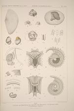 1-6. Laich und Entwickelung von Cominella oder Neobuccinum. 7-11. Echinospira indica. 13. 14. Enchiospira diophana.