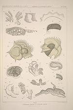 1. Echinospira diaphana. 2-4. Calcarella spinosa.