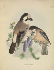 Garrulus Leucotis.